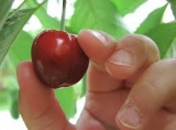 NBN to pick its own cherries from September